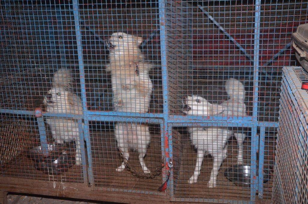 Dogs rescued from Rambo circus ready to be loaded into a vehicle