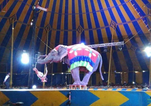 Shocking Veterinary Reports Show That Animals Suffer in the Rambo Circus