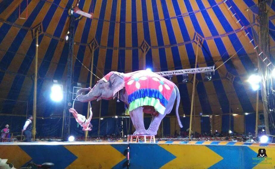 One of the rescued elephants performing in the circus