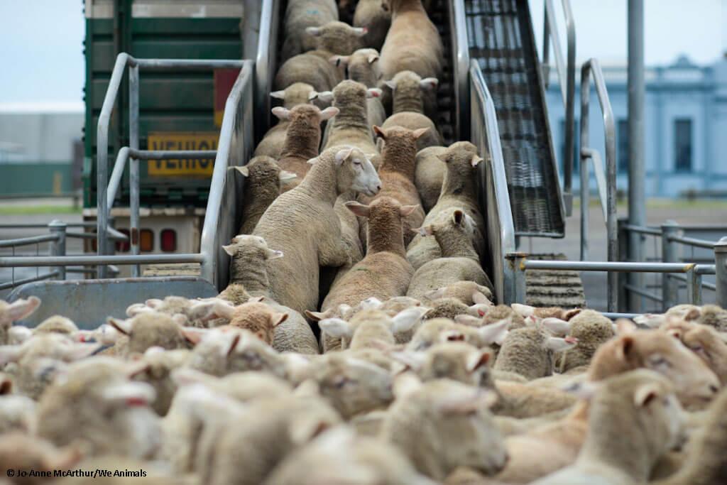27 SheepBallarat_JMcArthur-6861