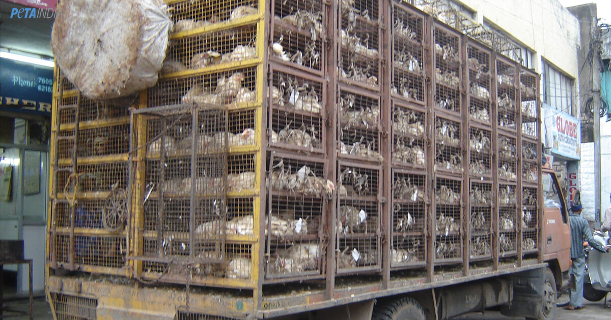 Chicken transport freight day photo