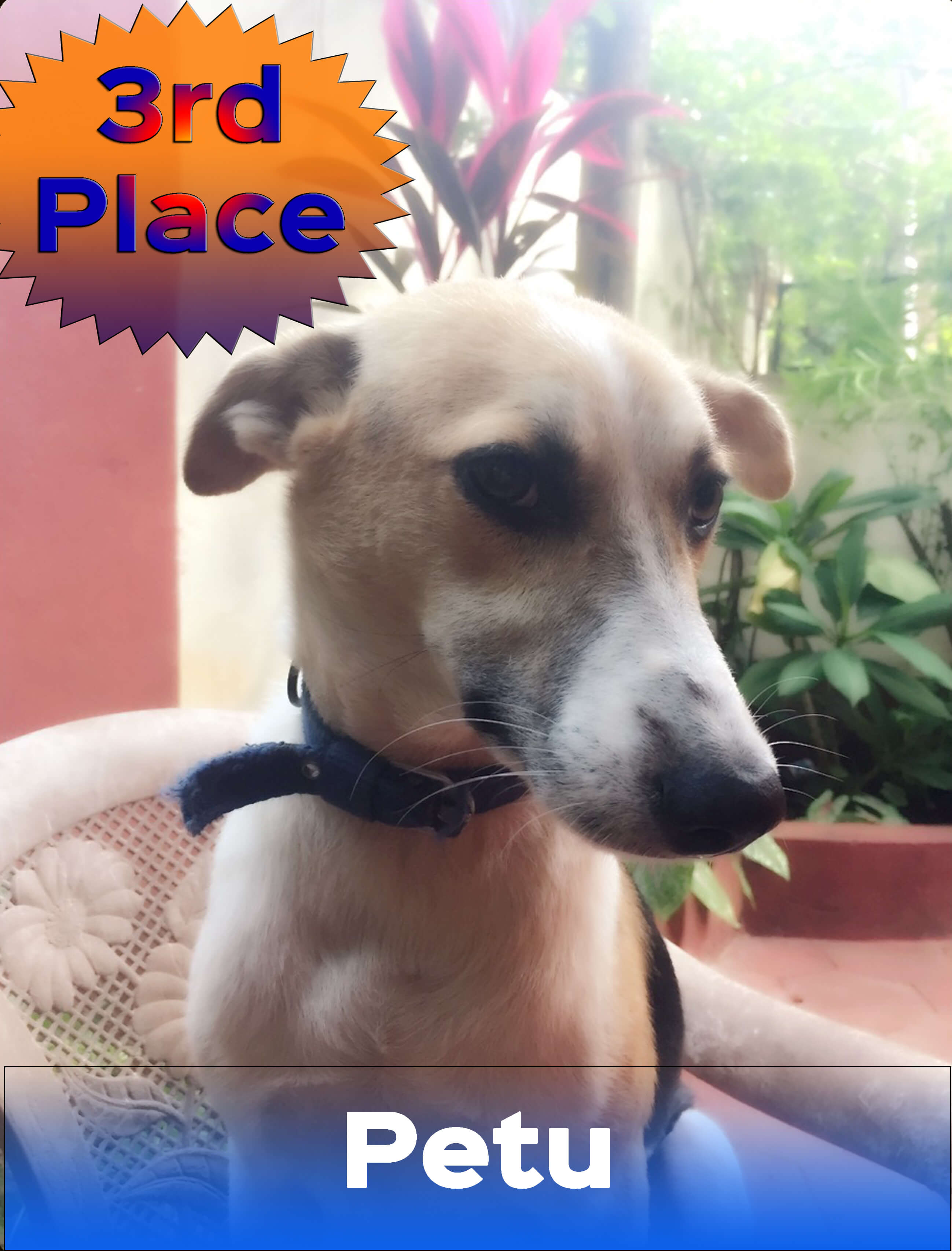 Voters helped Petu be named the second runner-up in PETA's 2016 Cutest Indian Dog Alive contest.