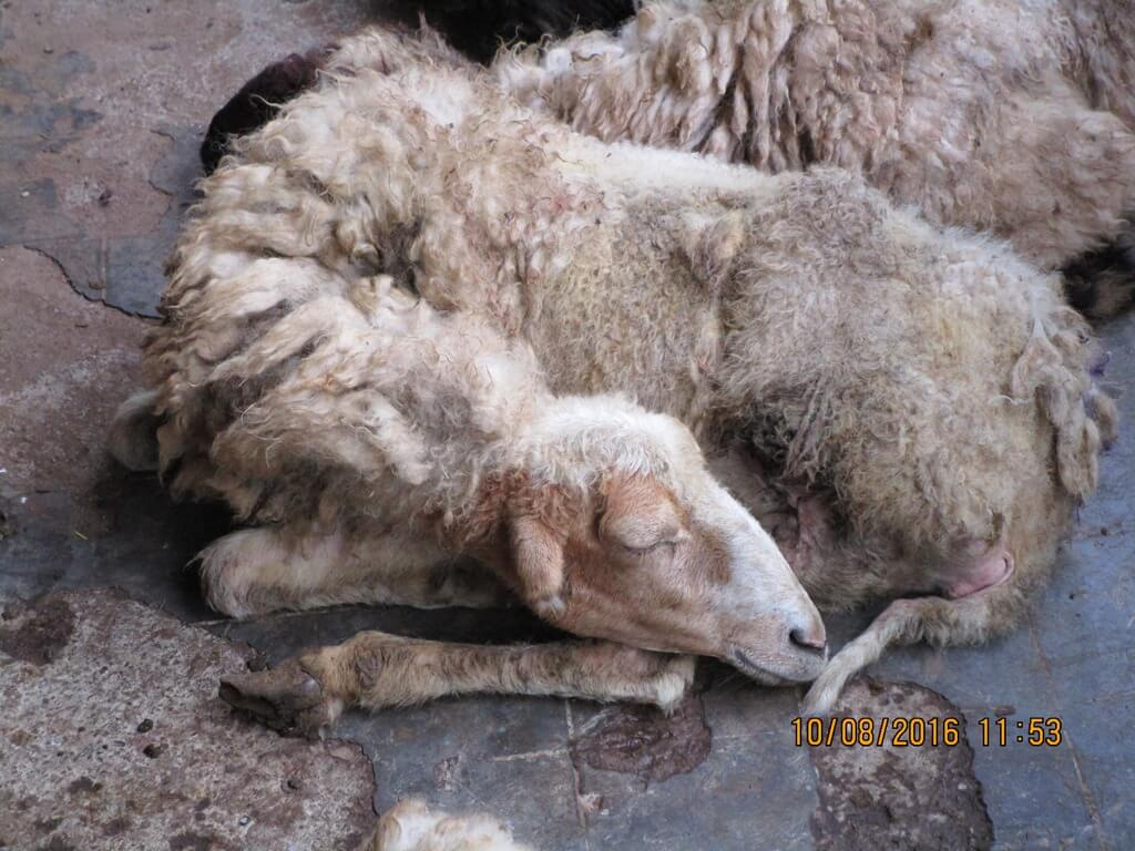 Weak sheep were declared fit for slaughter.