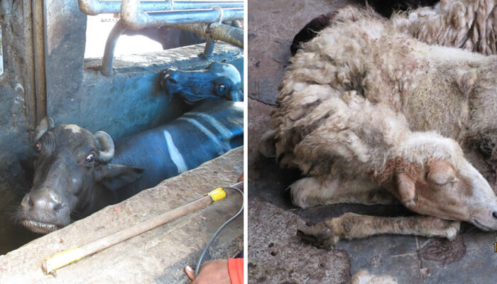 Video: Animals Electrocuted at Ghazipur Slaughterhouse