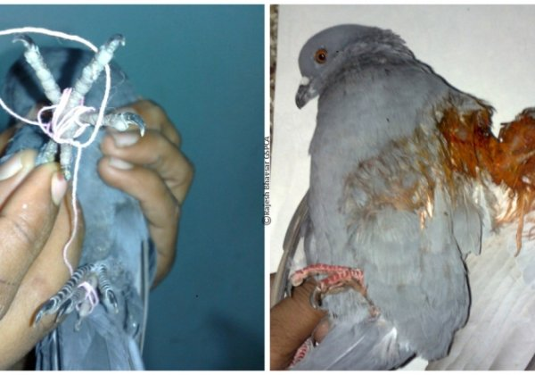 PETA Wants Manja Expanded To Include Glass-Coated Cotton Manja
