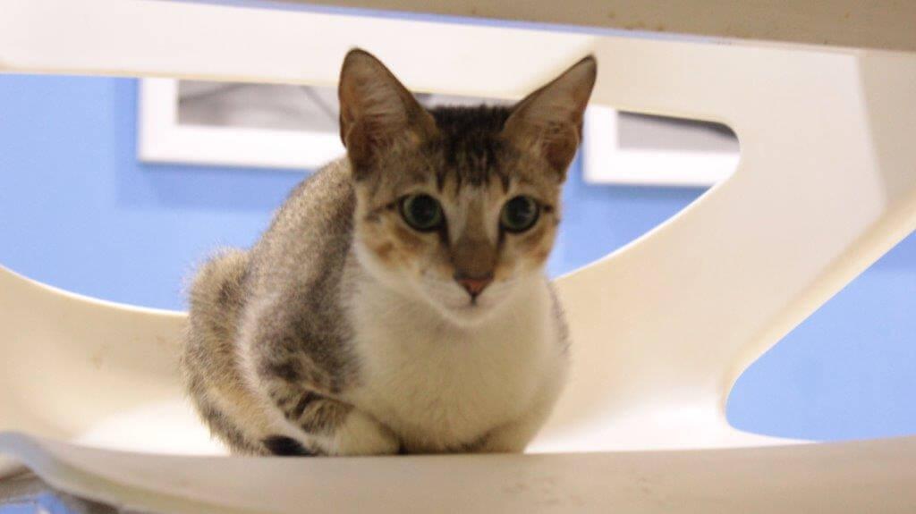new-grey-kitten