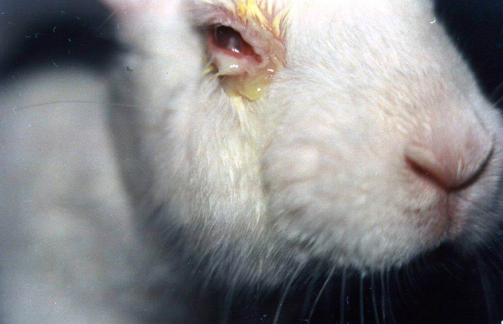 Victory: India Ends Two Cruel And Archaic Drug-Product Tests On Rabbits