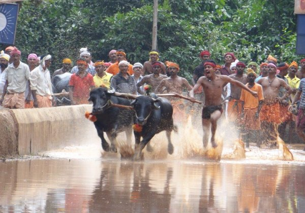 Granting Interim Relief, Karnataka HC Stops Kambala Events