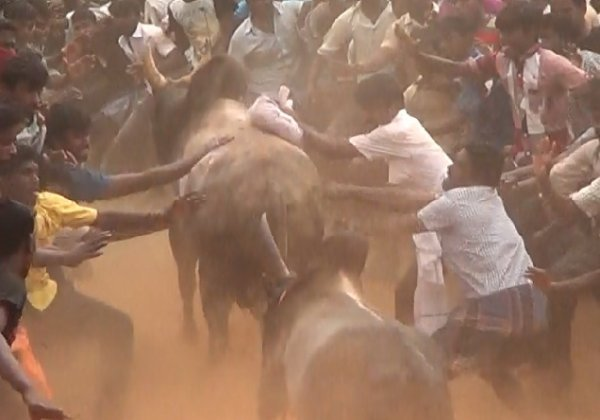 PETA Rejoices as Supreme Court Upholds Ban On Use Of Bulls In Jallikattu