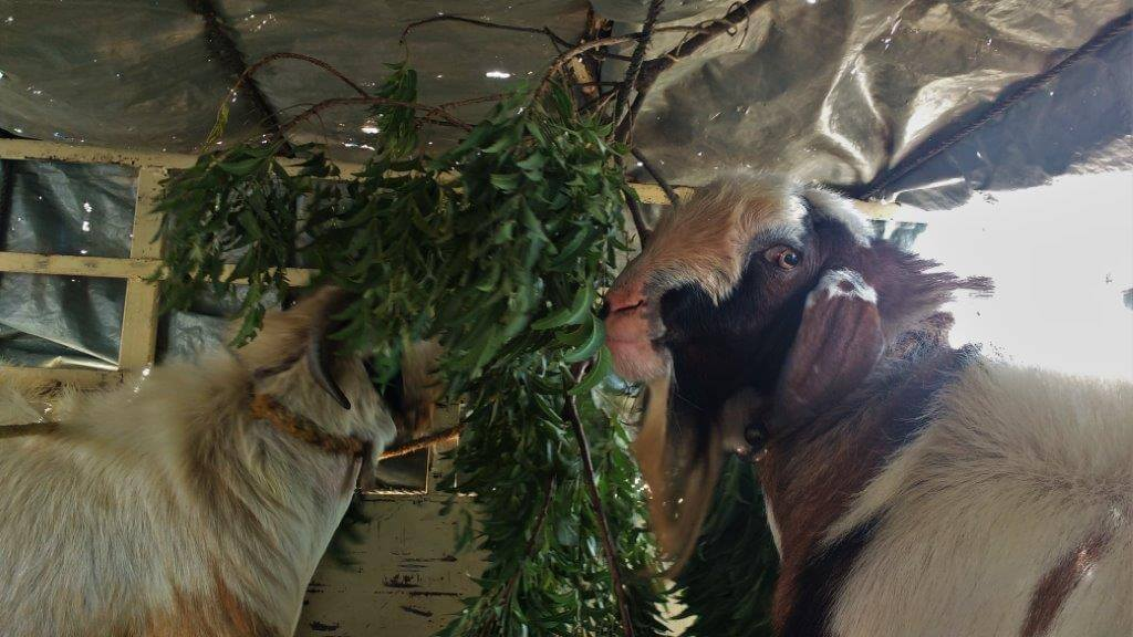goats-being-fed-green-leaves-after-the-rescue
