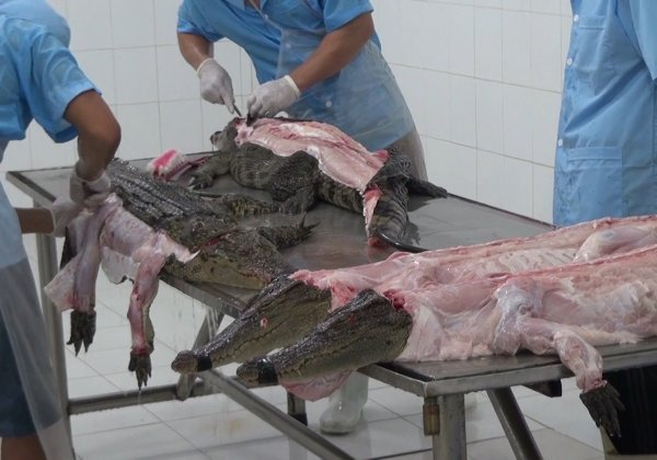 Crocodiles Cut Open, Skinned in Vietnam for Leather Bags