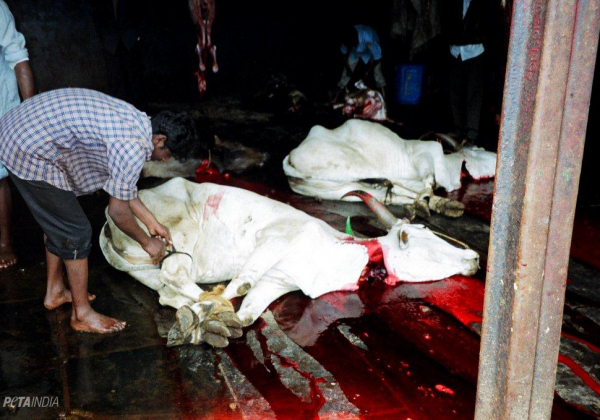 PETA Calls On All States To Stop Illegal Slaughter As Per Supreme Court Order