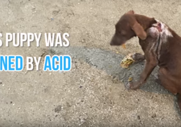 VIDEO: Puppy Burned by Acid Is Rescued—Look at Her Now!