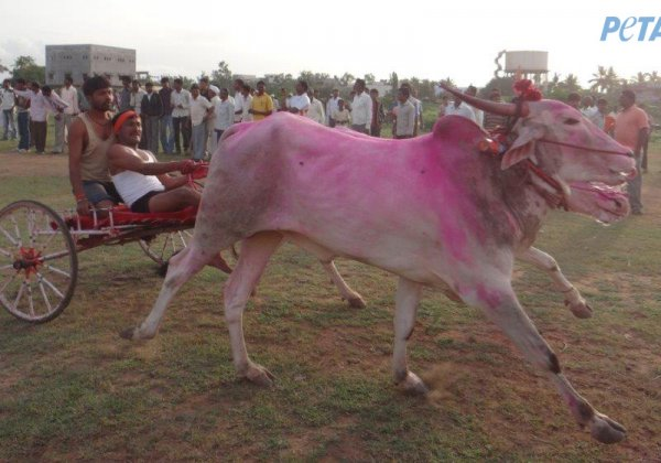 Maharashtra's Bulls Need Your Help