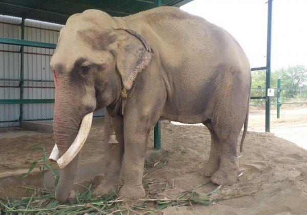 Gajraj the Elephant's Journey to Freedom After 51 Years