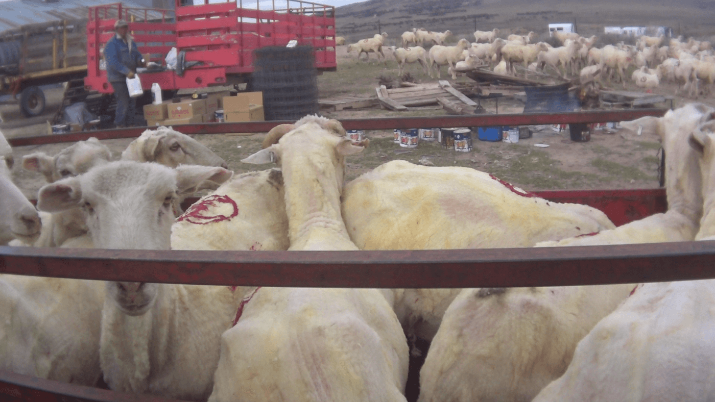 Another Patagonia-Approved Wool Producer Exposed – Help Sheep Now