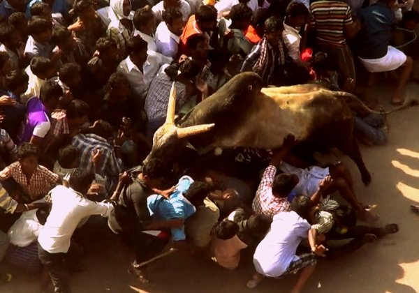 Victory: Cruel Jallikattu Competition Cancelled In Malaysia After PETA Asia Appeal