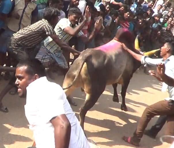 Shocking New Jallikattu Investigation Leads PETA Back to Supreme Court