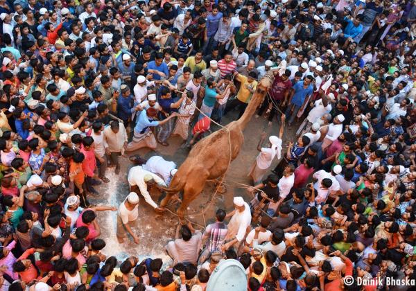 PETA Demands Police Action Against Horrific Camel Sacrifice