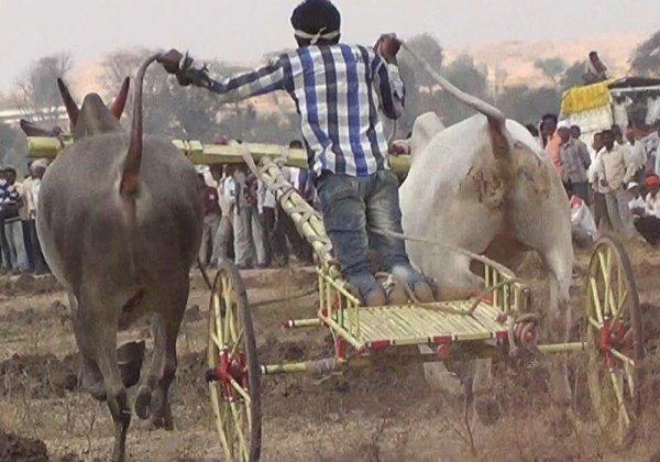 FIR Filed After PETA Shared Shocking Video Of Illegal Bullock Cart Race In Sangli