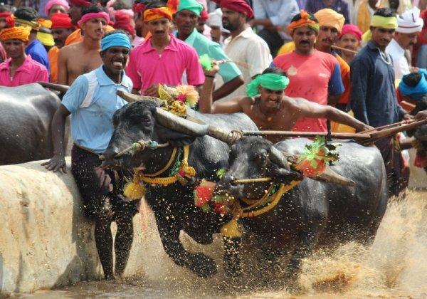 PETA India Demands Action Against Illegal Kambala Races