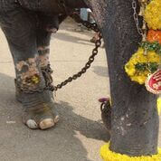 Central Government Orders Kerala To Report On Action Taken Against Cruelty To Elephants During Thrissur Pooram