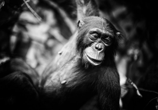 PETA India Urges Director Of Gorilla To Drop Plans To Show Real Chimpanzee In Film