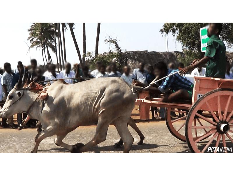 Bull-Rekla-Races-Investigation-2018-PETA-India