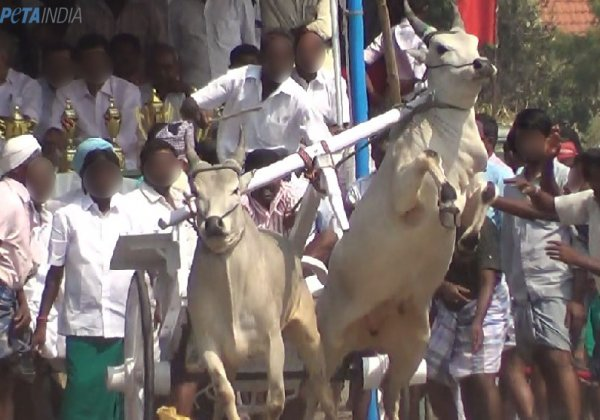 Bulls electrically shocked and beaten at illegal rekla races in Tamil Nadu