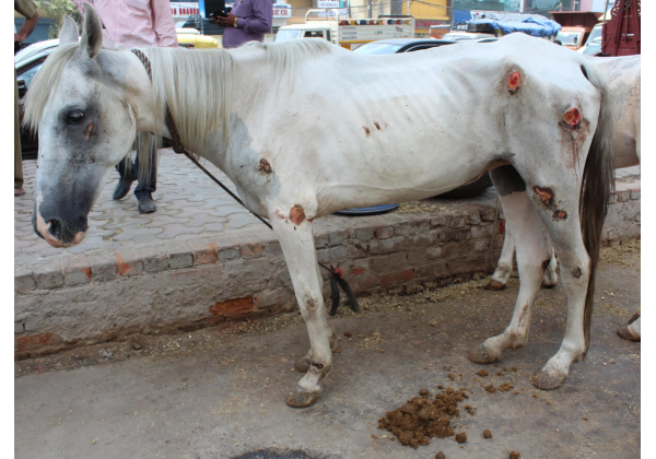 Delhi Police Seize Four Shockingly Malnourished, Injured Horses Used for Weddings
