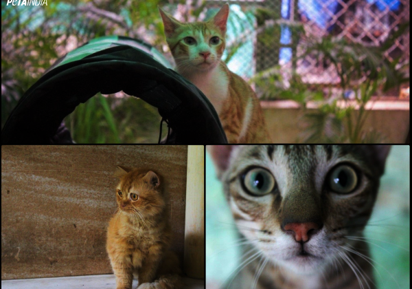 Two Adorable Rescued Kittens and an Adult Persian Cat Urgently Need Homes