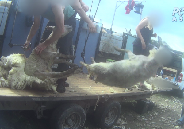 Breaking PETA Asia Investigation: Sheep in the UK Beaten, Stamped on, Cut, and Killed for Wool