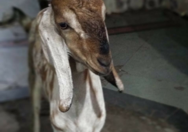Goat Seized by Central Railway Rescued By PETA India