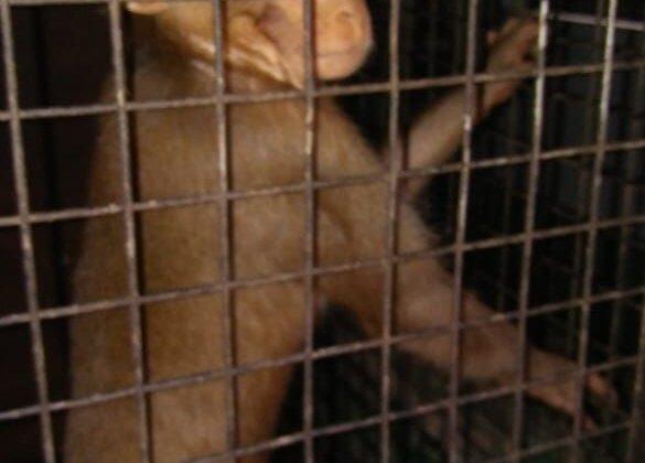 Monkeys Used for Begging RESCUED!