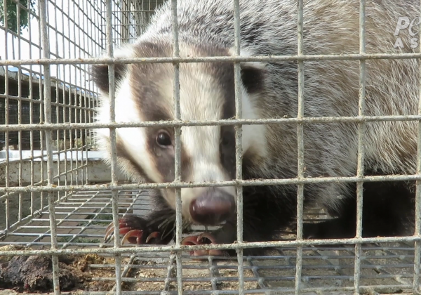 Bludgeoned for Brushes: PETA Asia Reveals Rampant Cruelty on Badger Farms