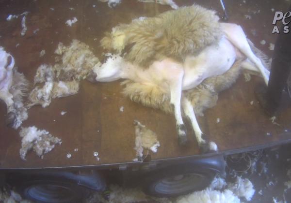 BREAKING: Sheep Beaten, Kicked, Cut, and Thrown Around in Scotland