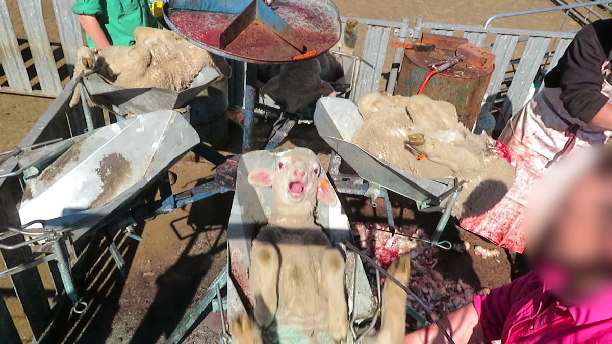 BREAKING: Lambs' Flesh and Tails Cut, Burned Off for Wool – Take Action