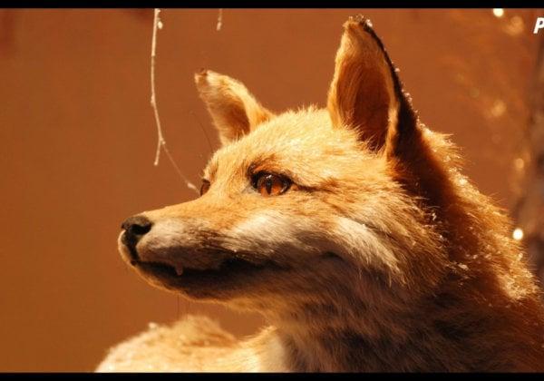 Illegal Fox Jallikattu Prompts PETA India Plea: 'Enforce the Law!'