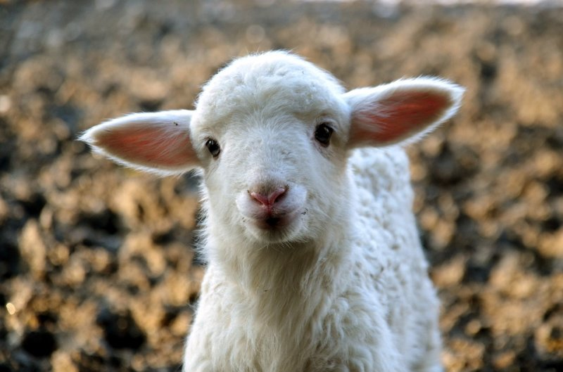 compassion to animals - lamb - reasons to go vegan for lent