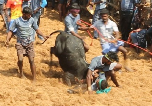 Jallikattu Investigation Photos 2019