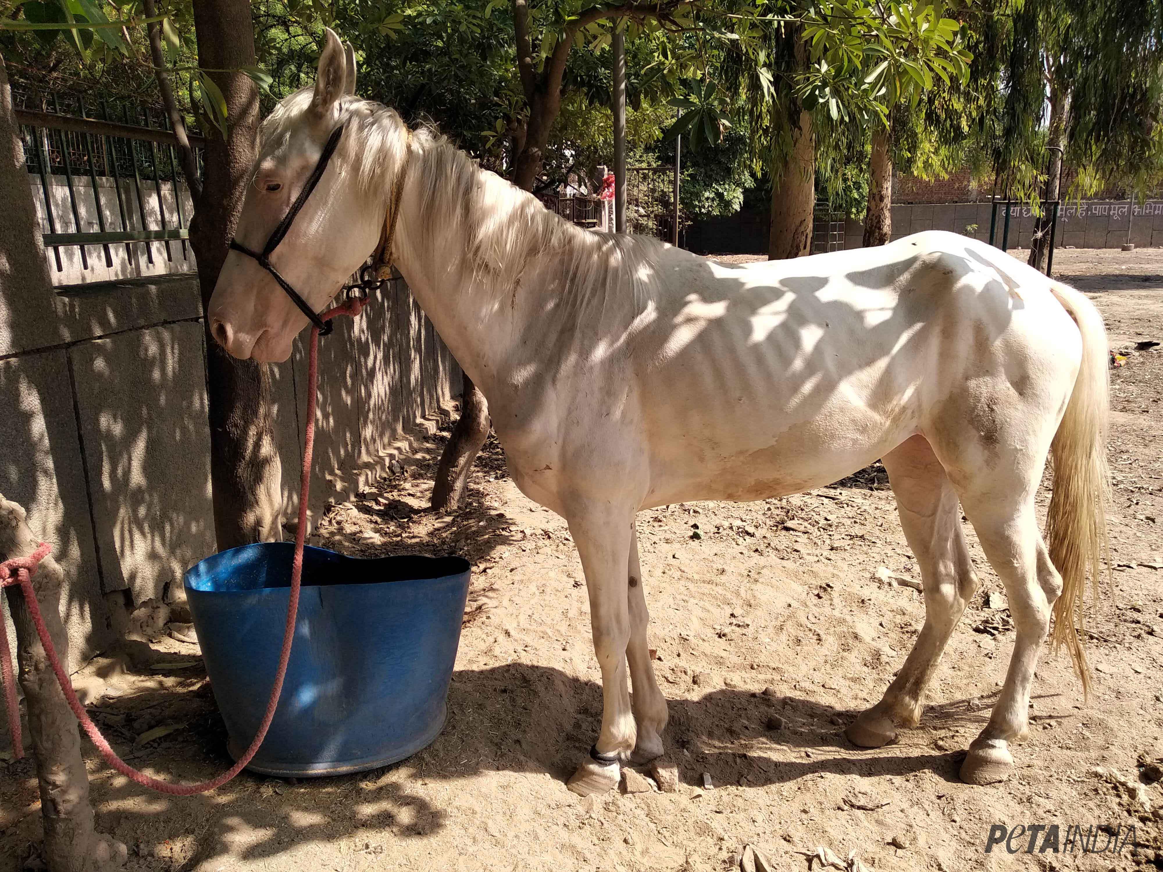 Horse Glanders Disease