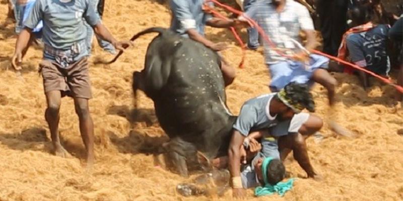 Latest Jallikattu Investigation Proves Laws Fail Bulls