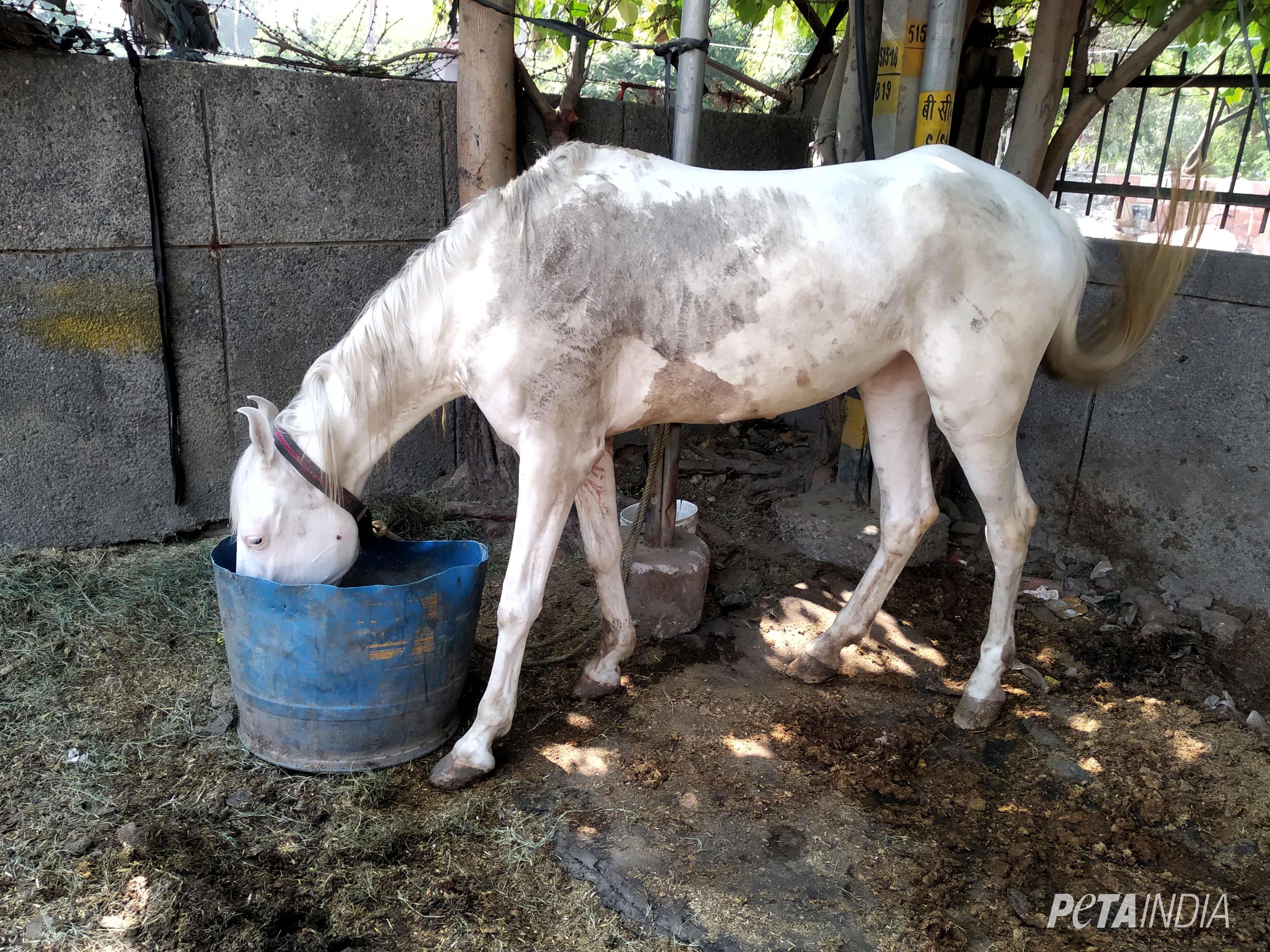 Glanders Horse Disease