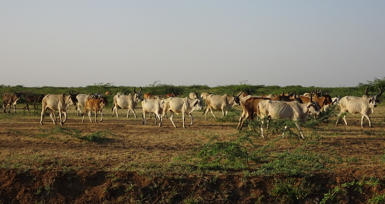 cattle raised for meat - India