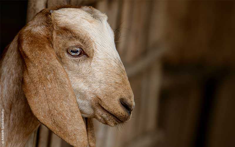 Goats Castrated Without Painkillers and Cruelly Killed – Speak Up!