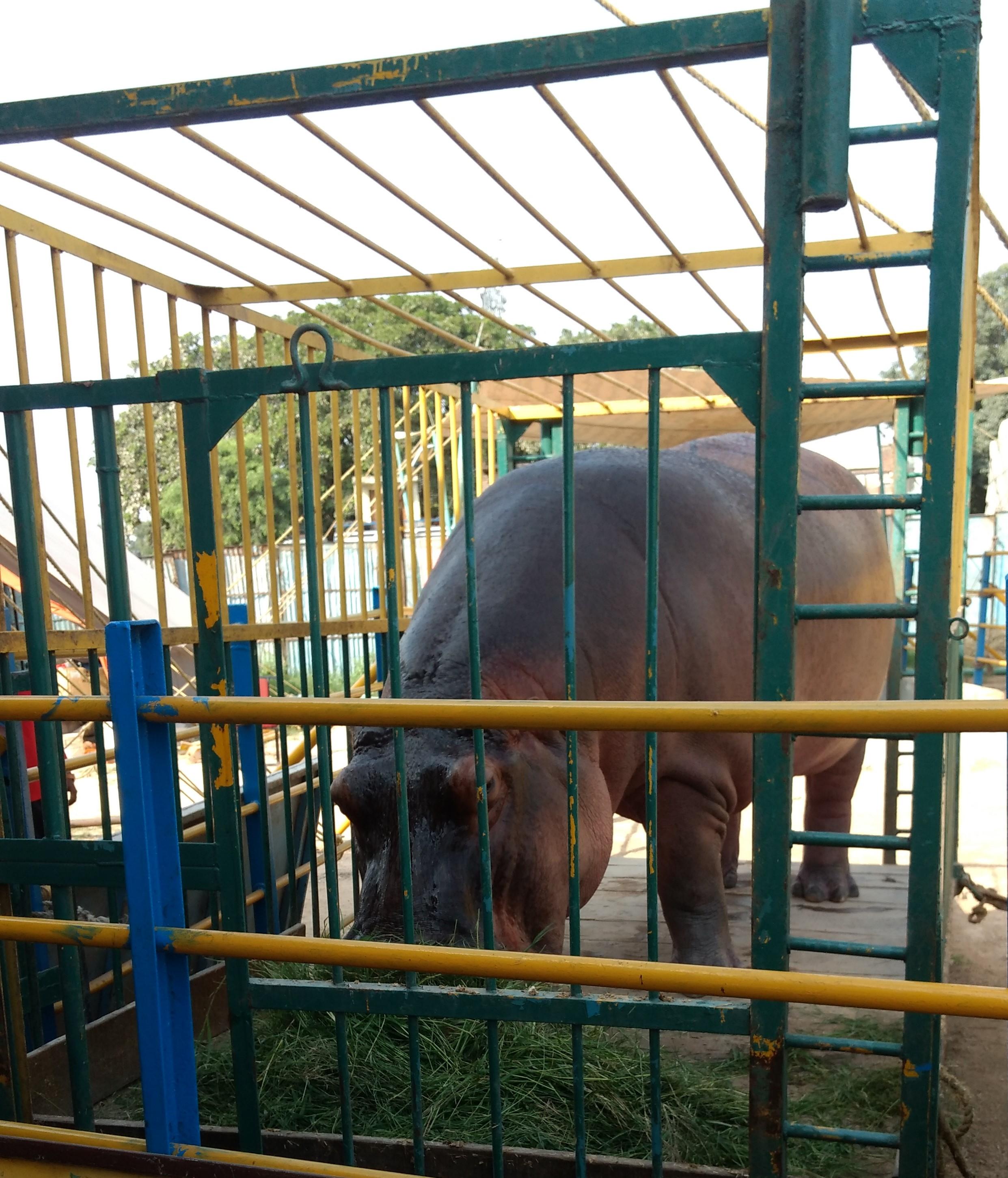hippo at asiad circus photo