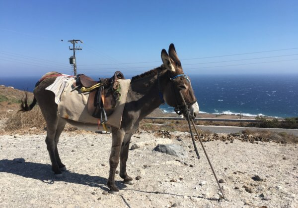 Donkey and Mule Abuse on Santorini Continues: Take Action Now!