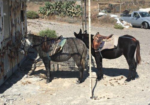 Donkeys-in-Santorini-2019-New-Germany-Investigation-Photos