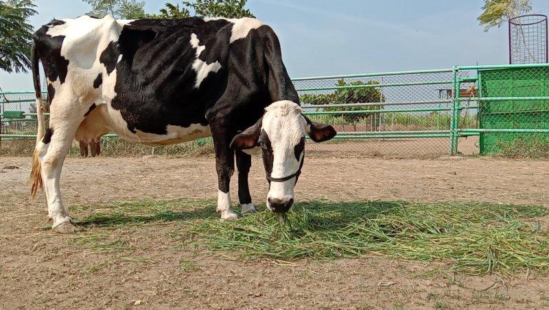 Rescued cow - Rani photos at Animal Rahat Sanctuary