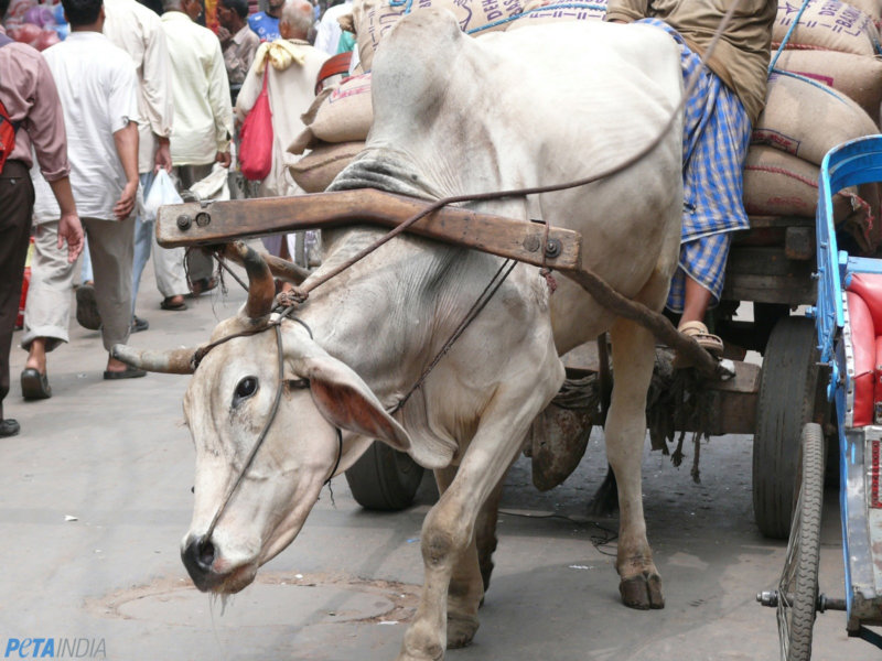 Working animals air pollution crisis